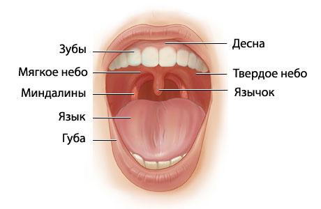 расположение-миндалин