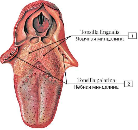расположение-язычной-миндалины