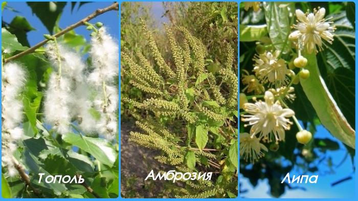Самые распространенные аллергены - пух тополя, и пыльца амброзии и липы