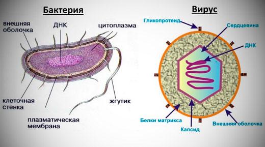 схема бактерии и вируса